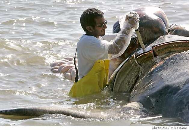 WHALE_810_MBK.JPG  Sathya Chinnaduria, a veterinarian with North Carolina State University, collects data by slicing off blubber from a dead grey whale lieing aground on a rocky beach in Point Richmond, CA, on Thursday, May, 24, 2007. photo taken: 5/24/07  Mike Kane / The Chronicle *Sathya Chinnaduria Photo: MIKE KANE