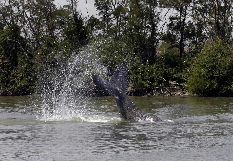 A humpback whale tail slaps the waters surface as firefighters spray powerful hoses near the mother and calf in the latest attempt to herd the wounded humpbacks back to the ocean from the Sacramento River on Friday, May 25, 2007, in Rio Vista, Calif. On Friday morning, the wayward whales were spotted about a mile and a half north of a Sacramento River bridge about 70 miles inland from the Pacific Ocean where they have been circling for several days, said Greg Hurner, a spokesman for the state Department of Fish and Game. (AP Photo/Paul Chinn, Pool) POOL Photo: PAUL CHINN