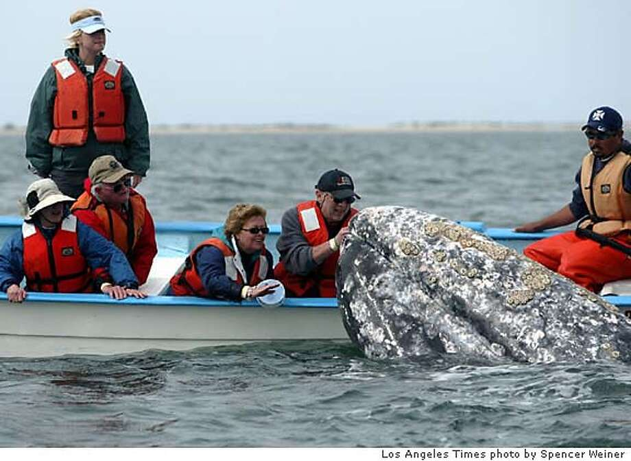 The barnacled snout of a gray whale greets visitors aboard a dory, or panga, run by Kuyima Ecoturismo. Illustrates WHALES (category i) by Kenneth R. Weiss, � 2005, Los Angeles Times. Moved Wednesday, March 23, 2005. (MUST CREDIT: Los Angeles Times photo by Spencer Weiner.) Ran on: 04-03-2005  The barnacle-covered snout of a gray whale greets visitors aboard a dory during their ecotourism voyage off the coast of Baja California. Photo: SPENCER WEINER