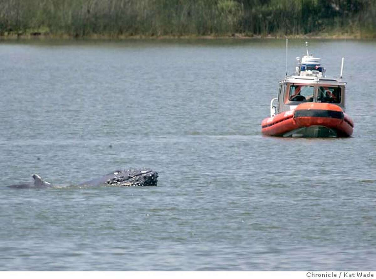 The mother humpback named Delta pokes her nose out of the water near a coast guard boat on May 20, 2007. Mother and baby humpback whales, nicknamed Delta and Dawn continue to swim in circles at the Port of Sacramento in the Sacramento riverKat Wade/The Chronicle