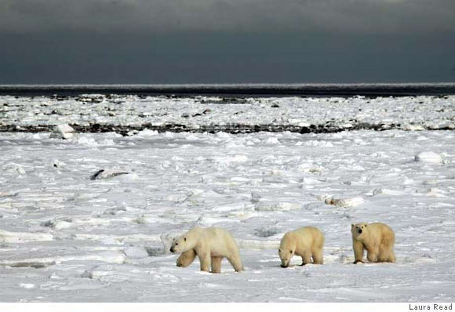 magPBEARS011.jpg Polar bears and tourists. Photo by LAURA READ / Freelance ONE-TIME MAGAZINE USE ONLY Photo: LAURA READ