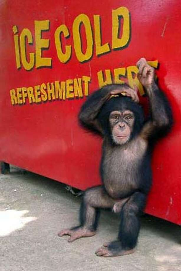 Chimp against red wall of cola stand. Photo: Gregg Zachary
