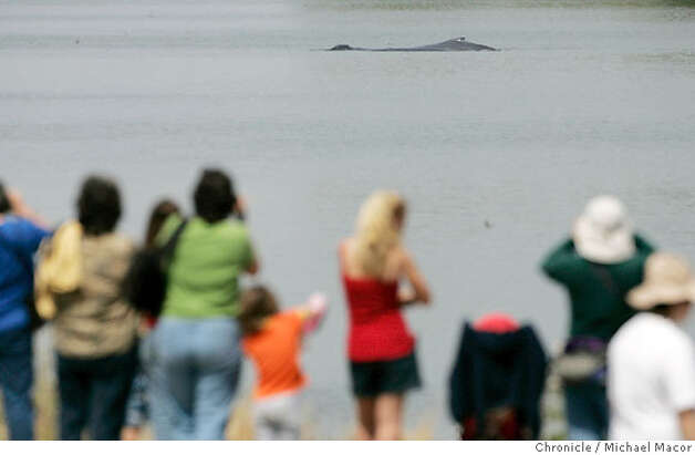 Dozens of on-lookers line the levee for a glimps of the two Whales inside the Port of Sacramento. mA mother and her calf still circle the turnaround channel in the Port of Sacramento, in West Sacramento as efforts are underway to lead them back out to sea. Photographed in, Sacramento, Ca, on 5/18/07. Photo by: Michael Macor/ The Chronicle Photo: Michael Macor