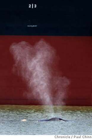 Water sprays from a whale's blow hole as it swims past a ship docked at the Port of Sacramento. Two wayward humpback whales continue to swim at the Port of Sacramento in West Sacramento, Calif. on Thursday, May 17, 2007. Marine biologists are hoping to lure the giants back towards the Pacific Ocean with whale sounds.  PAUL CHINN/The Chronicle Photo: PAUL CHINN