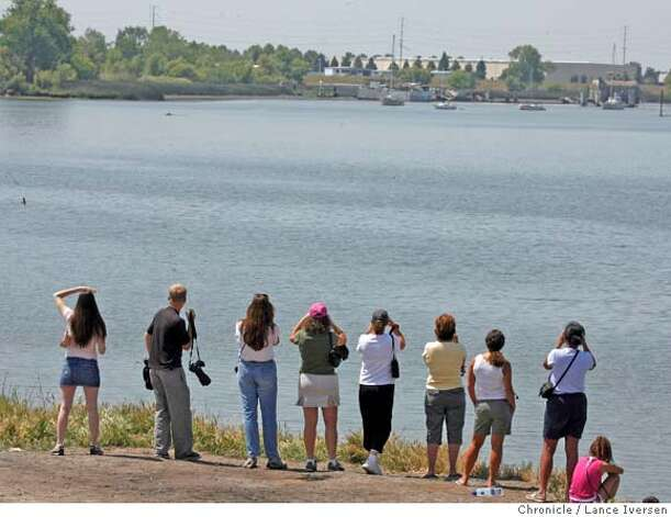 WHALES_32754.JPG  Whale watchers line the banks along the Sacramento River at the Port of Sacramento Wednesday trying to sight two wayward whales. Two humpback whales, seen earlier this week at least 15 miles south in Rio Vista, have turned up in the West Sacramento shipping Port. The whales appear to be confused as they swim north up the Sacramento River.The whales keep turning around in the large basin normally used by cargo ships. An ever-growing crowd of about 1000 people have gathered along the shoreline. The two whales, possibly an adult that could weigh up to 55 tons and a smaller juvenile, come up for air every few minutes. (MAY 16) (cq, SUBJECT ) Lance Iversen / The Chronicle Photo taken on 5/16/07, in WEST SACRAMENTO, CA.. Photo: By Lance Iversen