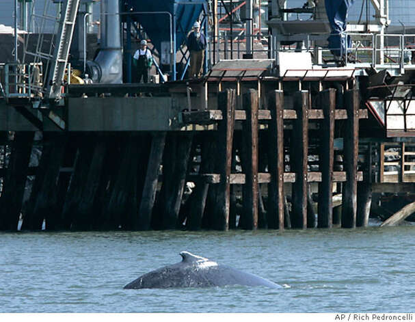 A humpback whale surfaces near a dock in the deep water channel leading to the Port of Sacramento in West Sacramento, Calif., Wednesday, May 16, 2007. A pair of humpback whales, believed to be a mother and her calif surfaced in the Port of Sacramento late Tuesday. The pair were first spotted Sunday in the lower Sacramento River near the delta towns of Isleton and Rio Vista. (AP Photo/Rich Pedroncelli) Photo: Rich Pedroncelli