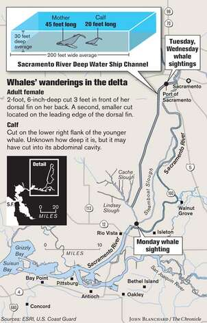 Whales' wanderings in the delta. Chronicle graphic by John Blanchard