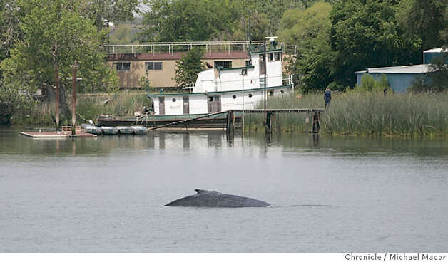 The two whales continue to circle the Port of Sacramento waters. A mother and her calf still circle the turnaround channel in the Port of Sacramento, in West Sacramento as efforts are underway to lead them back out to sea. Photographed in, Sacramento, Ca, on 5/18/07. Photo by: Michael Macor/ The Chronicle Photo: Michael Macor