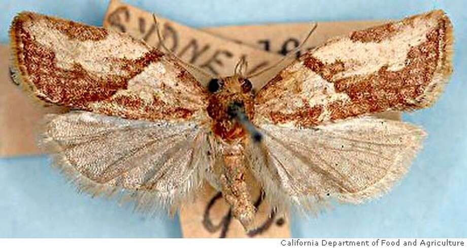� A light brown apple moth is shown In this undated photo provided by the California Department of Food and Agriculture. Agriculture officials are scrambling to contain the invasion of the voracious Australian pest spotted in the San Francisco Bay area in February 2007. (AP Photo/California Department of Food and Agriculture) Ran on: 04-14-2007 The light brown apple moth is small, with a wingspan of less than an inch. BEST QUALITY