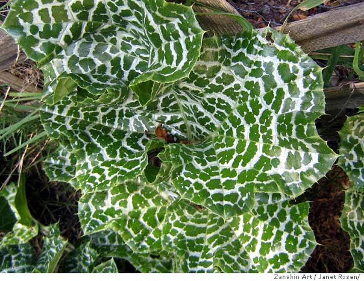 Caption: Milk thistle Credit: Janet Rosen/Zanshin Art Ran on: 04-25-2007 Milk thistle (Silybum marianum) has dramatically marked leaves. Ran on: 04-25-2007 Milk thistle (Silybum marianum) has dramatically marked leaves. Ran on: 04-25-2007 Milk thistle (Silybum marianum) has dramatically marked leaves. Ran on: 04-25-2007 Milk thistle (Silybum marianum) has dramatically marked leaves.