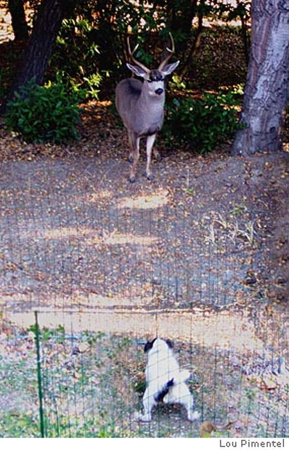This photo by a neighbor shows the buck believed to have attacked two dogs and a terrier not injured by the animal. Photo by Lou Pimentel