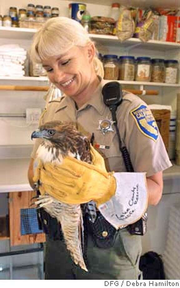 DFG Warden Lynette Shimek holds a juvenile Red-tail hawk with assisting at a wildlife rehabilitation clinic in Lake County. Shimek was just selected as the California Department of Fish and Game's Warden of the Year. DFG photo by Debra Hamilton Photo: DFG Photo By Debra Hamilton