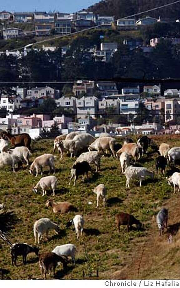 GOATS_020_LH_.JPG Goats on the outskirts of the City College of San Francisco parking lot on Geneva at Phelan avenues eating overgrown grass. Liz Hafalia/The Chronicle/San Francisco/4/19/07  ** cq �2007, San Francisco Chronicle/ Liz Hafalia  MANDATORY CREDIT FOR PHOTOG AND SAN FRANCISCO CHRONICLE. NO SALES- MAGS OUT. Photo: Liz Hafalia