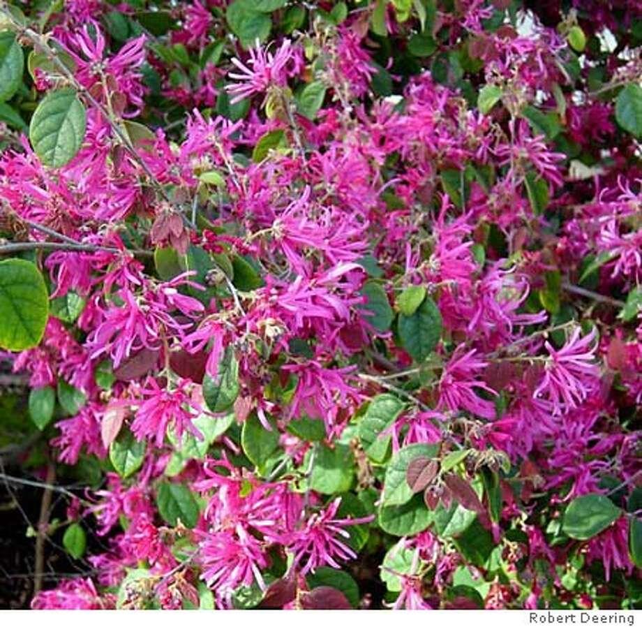 Pick Of The Week Chinese Fringe Flower Evergreen Asian Shrub