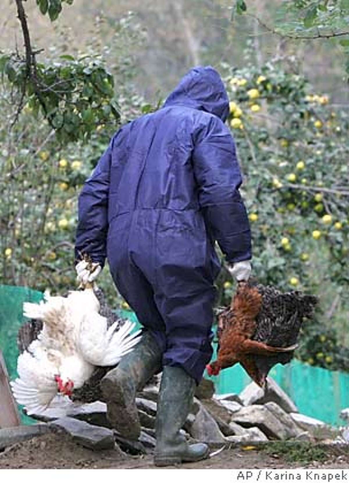 A Romanian health worker carries domestic birds before gassing them in the village of Vulturul, 300km (186 miles) east of Bucharest, Romania Saturday Oct. 15 2005. Romanian authorities called for calm and placed an eastern region under quarantine Saturday as tests confirmed the deadly strain of a bird flu virus that has devastated flocks and killed dozens of people in Asia has moved into eastern Europe.(AP Photo/Karina Knapek)