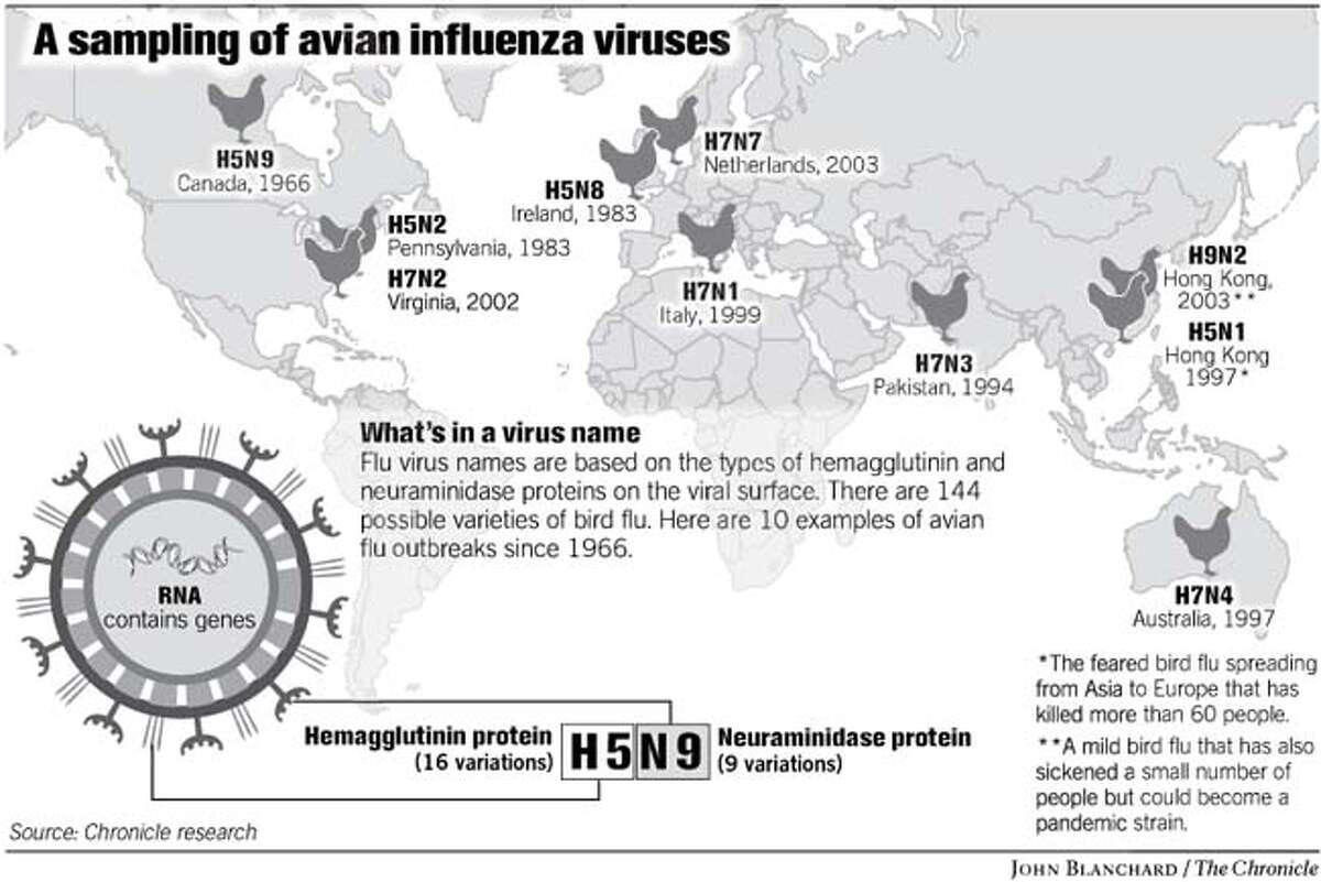 A Sampling of Avian Influenza Viruses. Chronicle graphic by John Blanchard