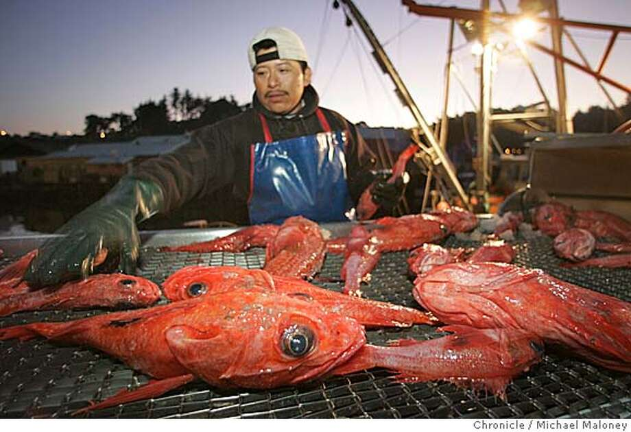 """At sunrise in Noyo Harbor, a Caito Fisheries dock worker sorts rockfish hauled from the trawler """"Stormbringer"""". This rockfish is commonly called pacific red snapper.  Noyo Harbor at the south end of Fort Bragg still supports a commercial fishery with a small fleet of salmon boats and groundfish trawlers. Rediscovering California's North Coast. A kayak voyage by Paul McHugh, Bo Barnes and John Weed. A paddle from the Oregon border to the SF bay.  Photo taken on 9/29/05 in Fort Bragg, CA by Michael Maloney / San Francisco Chronicle Photo: Michael Maloney"""