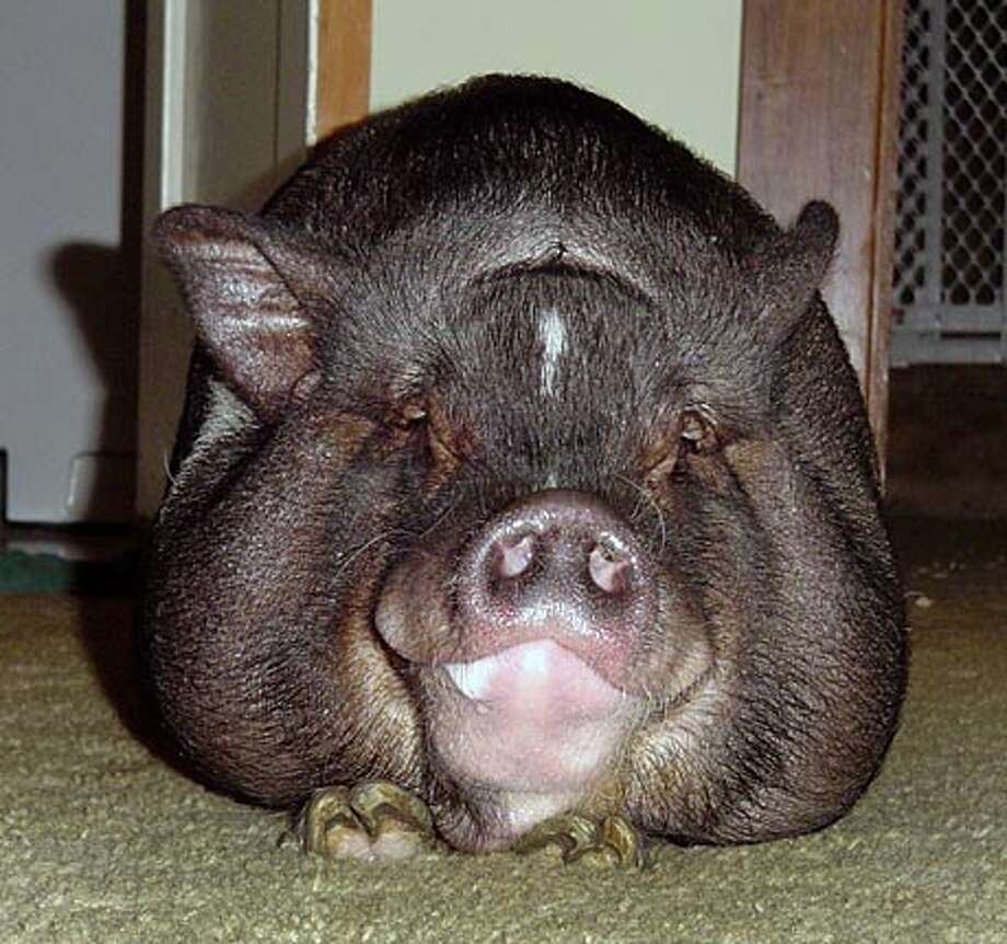 Welcome home! Bacon the pig. Photo courtesy of Eric Bratcher