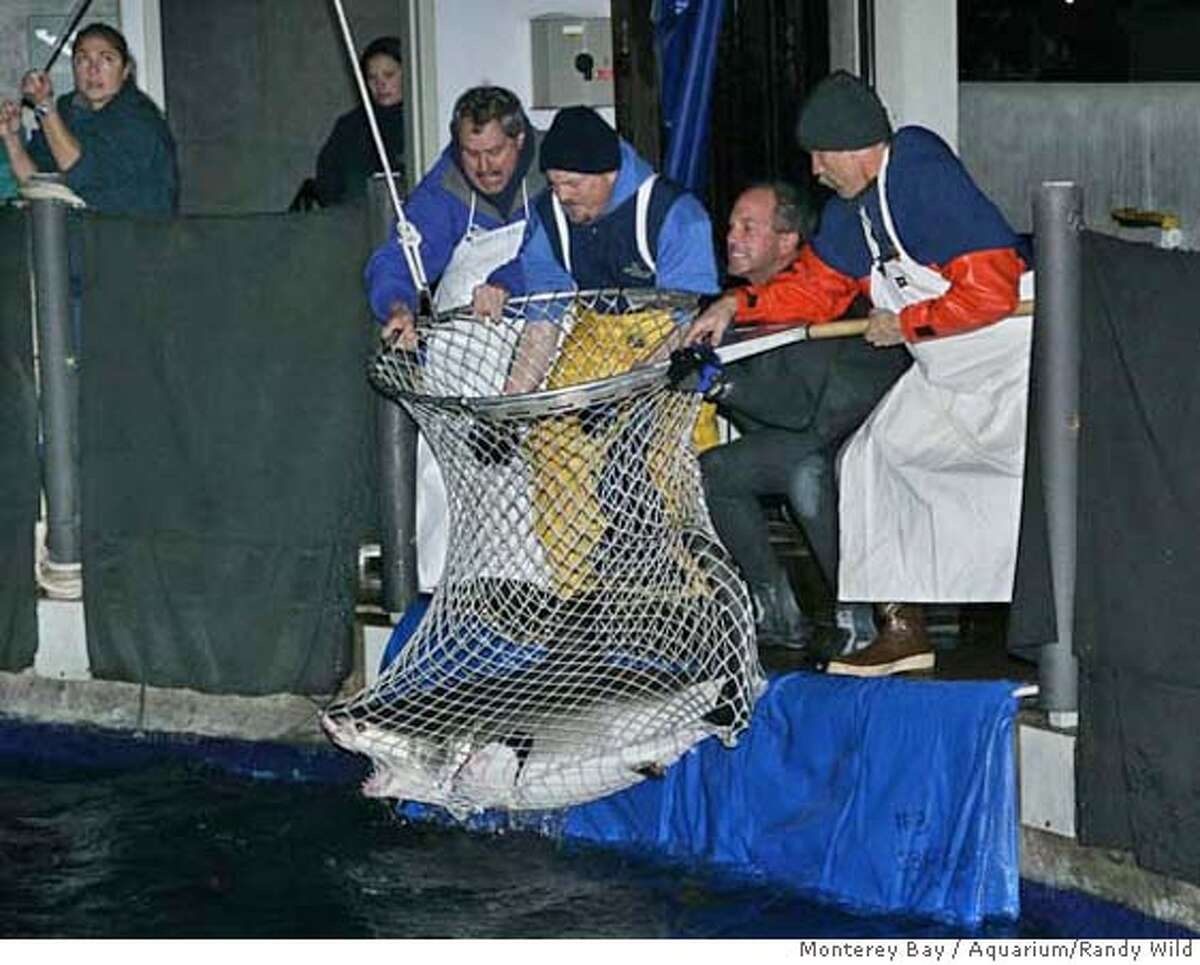 Staff with the Monterey Bay Aquarium net a young great white shark out of the aquarium�s million-gallon Outer Bay exhibit early Tuesday morning (Jan. 16) as a prelude to returning the shark to the wild. The aquarium is the only one in the world to exhibit a white shark for more than 16 days, and has now accomplished the feat twice since 2004. Both animals were returned to the wild and fitted with electronic tags that will document their movements after release. Credit: Monterey Bay Aquarium/Randy Wilder