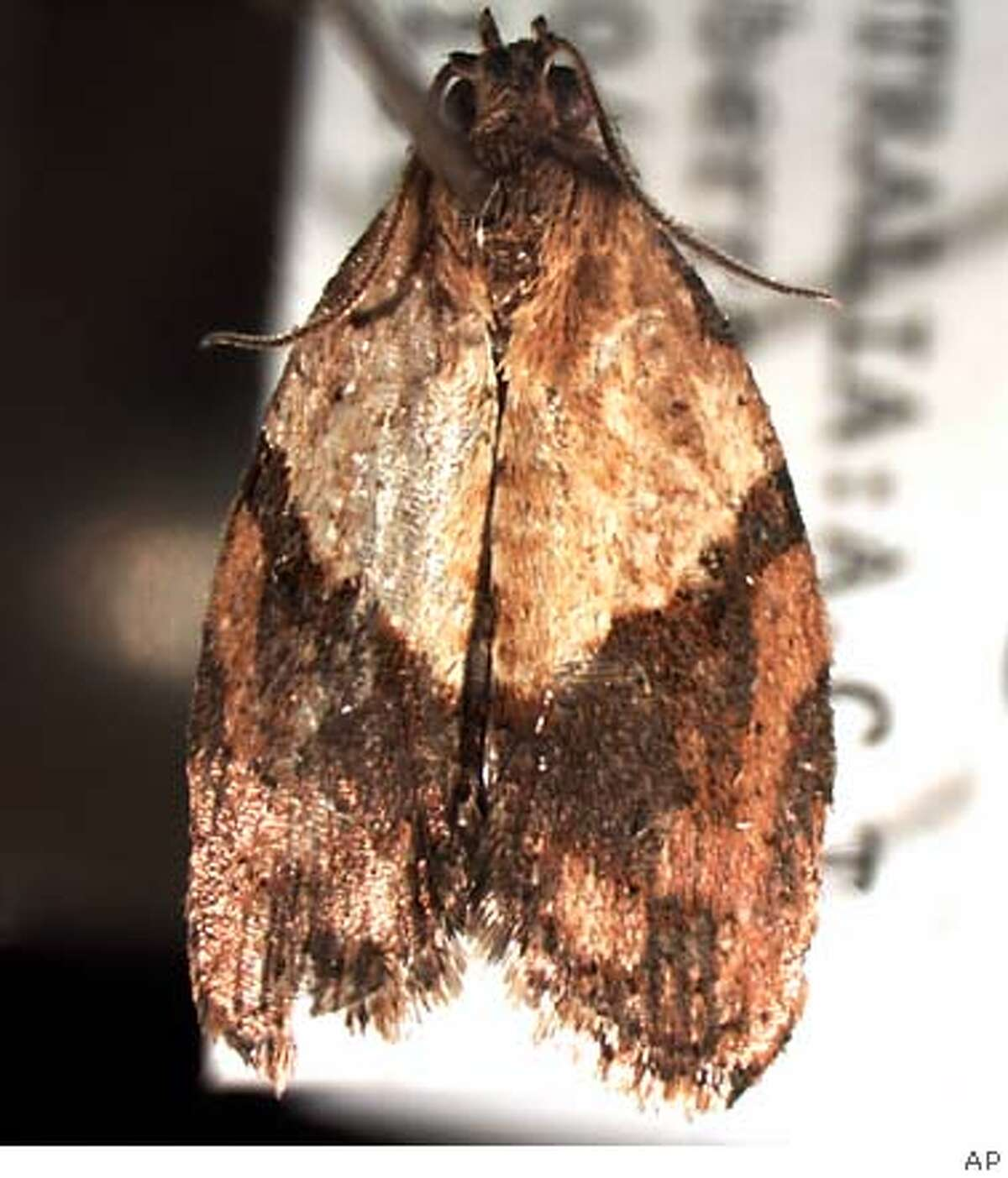 The light brown apple moth is small, with a wingspan of less than an inch. Photo courtesy of the California Department of Food and Agriculture