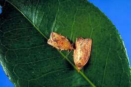 Leaves of more than 200 plant species other than apples are eaten by light brown apple moths. Photo courtesy of the New Zealand Government