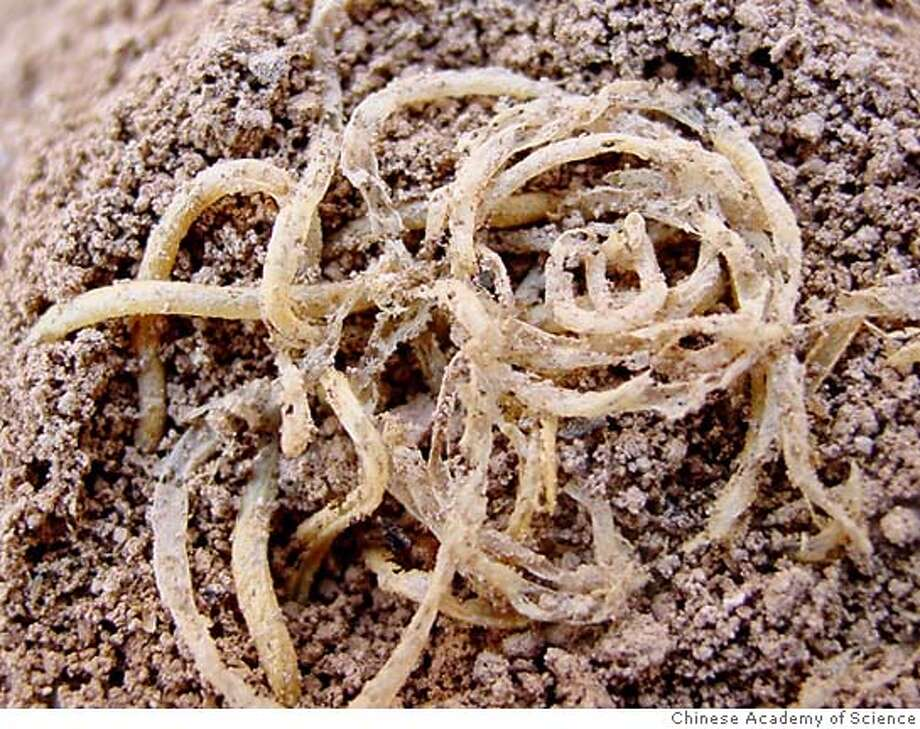 An undated handout photograph, released October 12, 2005, shows noodles dating back 4,000 years on top of an in-filled sediment cone. Italians are known for them and theories suggest they may have originated in the Middle East but scientists said on Wednesday the world's oldest known noodles, dating back 4,000 years, were made in China. Houyuan Lu, of the Chinese Academy of Science in Beijing and his colleagues found the ancient noodles preserved in an overturned, sealed bowl at an archaeological site near the Yellow River in northwestern China. FOR EDITORIAL USE ONLY REUTERS/Chinese Academy of Science/Handout Photo: HO