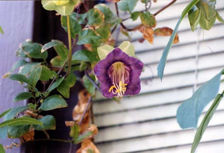 Cup and saucer vine in full bloom. Photo: Handout