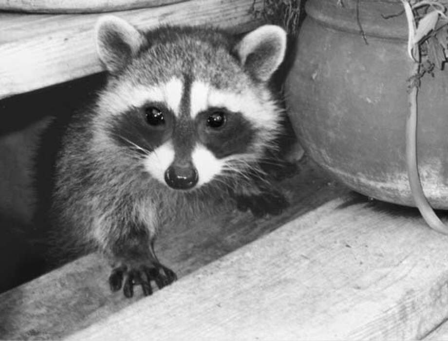 07/12/03 | B/W | Advance | 22p8 x 3 | 8 | Home | beth 7173 | WILDLIFE12-coon