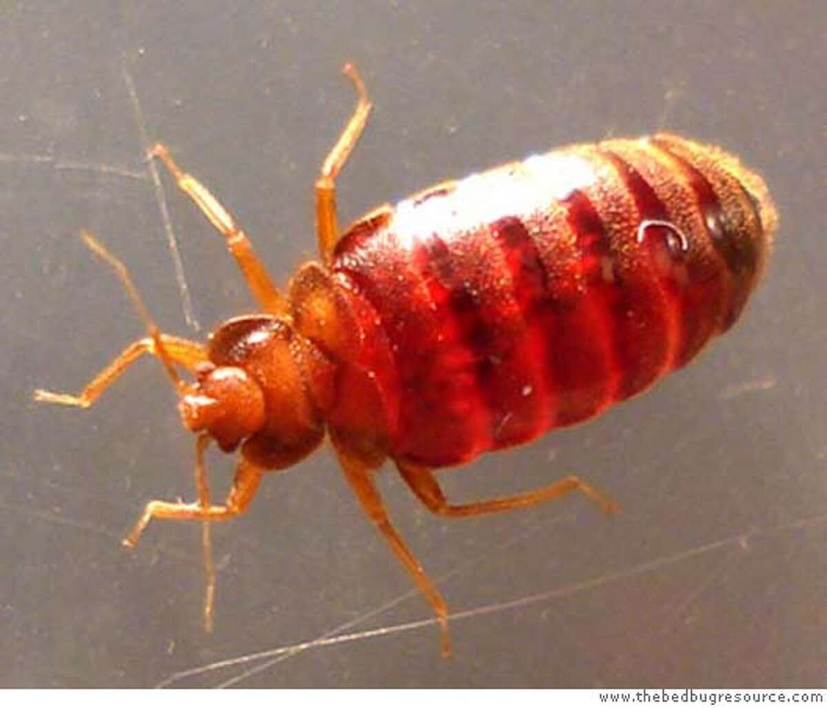 Adult Bed Bug photo from the california dept of health services. CREDIT: www.thebedbugresource.com