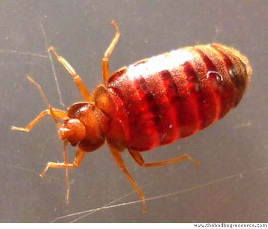 Adult Bed Bug photo from the california dept of health services. CREDIT: www.thebedbugresource.com Photo: Www.thebedbugresource.com