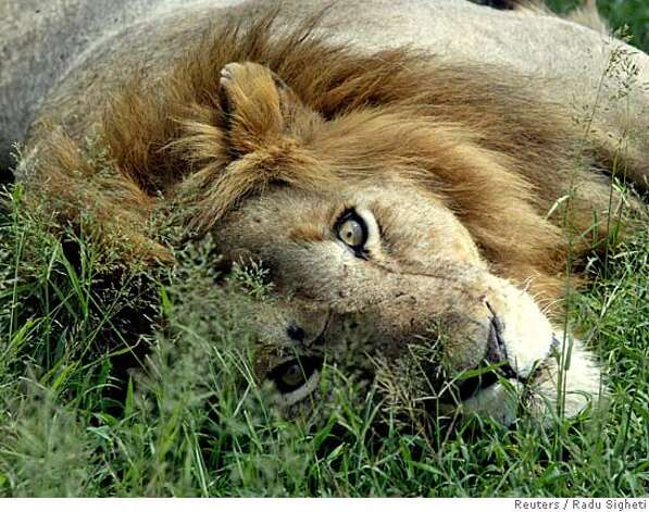 A lion rests in the shadow of a bush in Kenyas national park Masai Mara in this March 2004 file photo. Even the King of the Jungle needs a hand staying alive on his own turf. That is what the government of Kenya thinks as far as the majestic African lion, a symbol of the continent and one of its most feared predators, is concerned. The Kenya Wildlife Service is pushing the Convention on International Trade in Endangered Species (CITES), to give the African lion, panthera leo, its most protected status. Current conservative estimates place the African lion population at 23,000, Kenya wrote in its proposal. TO MATCH STORY ENVIRONMENT CITES LIONS REUTERS/Radu Sigheti [Photo via NewsCom] 0 Photo: RADU SIGHETI