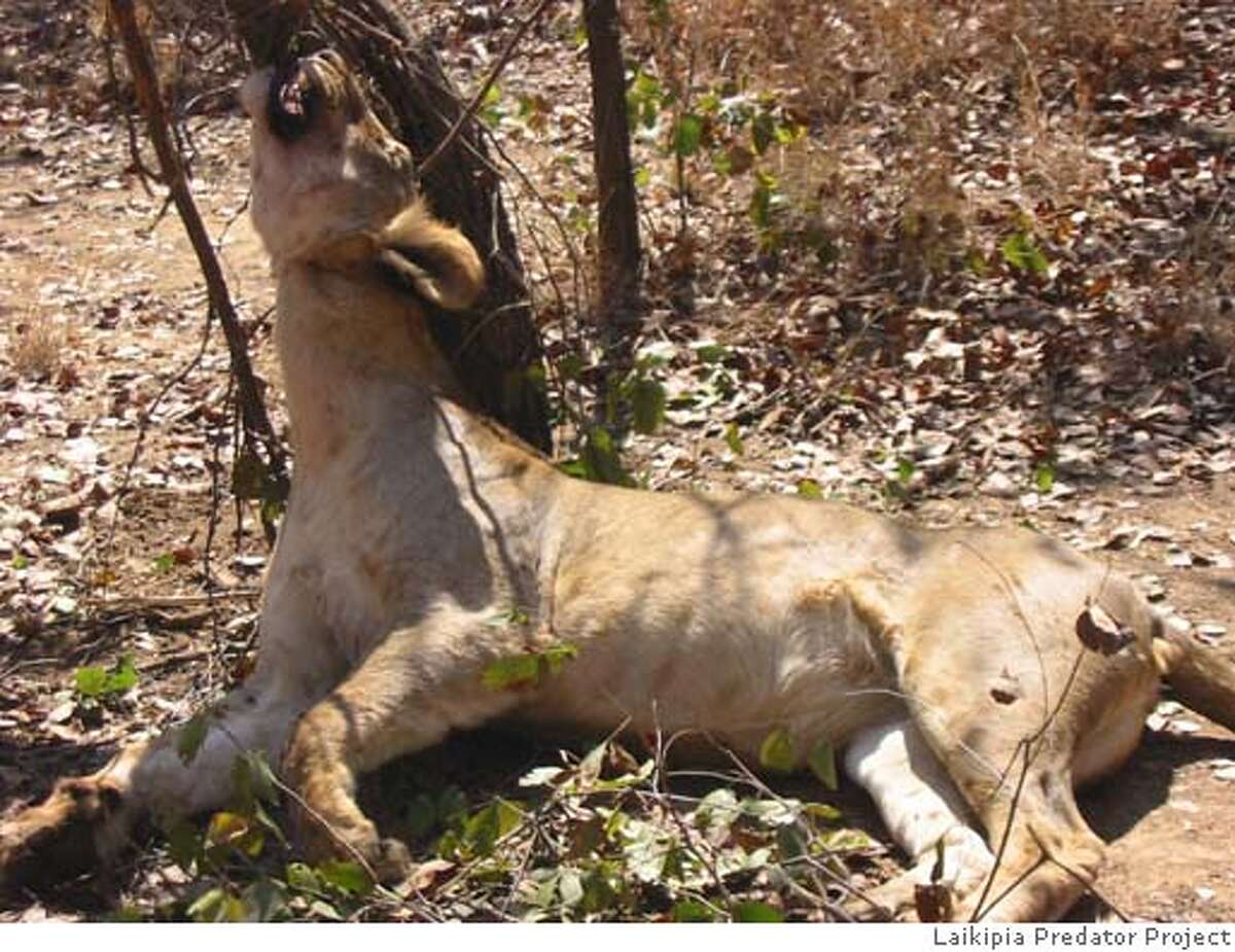 LION_PH3.JPG A lioness killed by a snare in the Masai Mara, Kenya Laikipia Predator Project