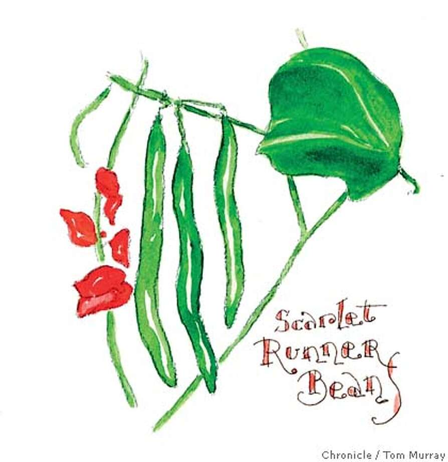 Scarlet Runner Beans. Chronicle illustration by Tom Murray