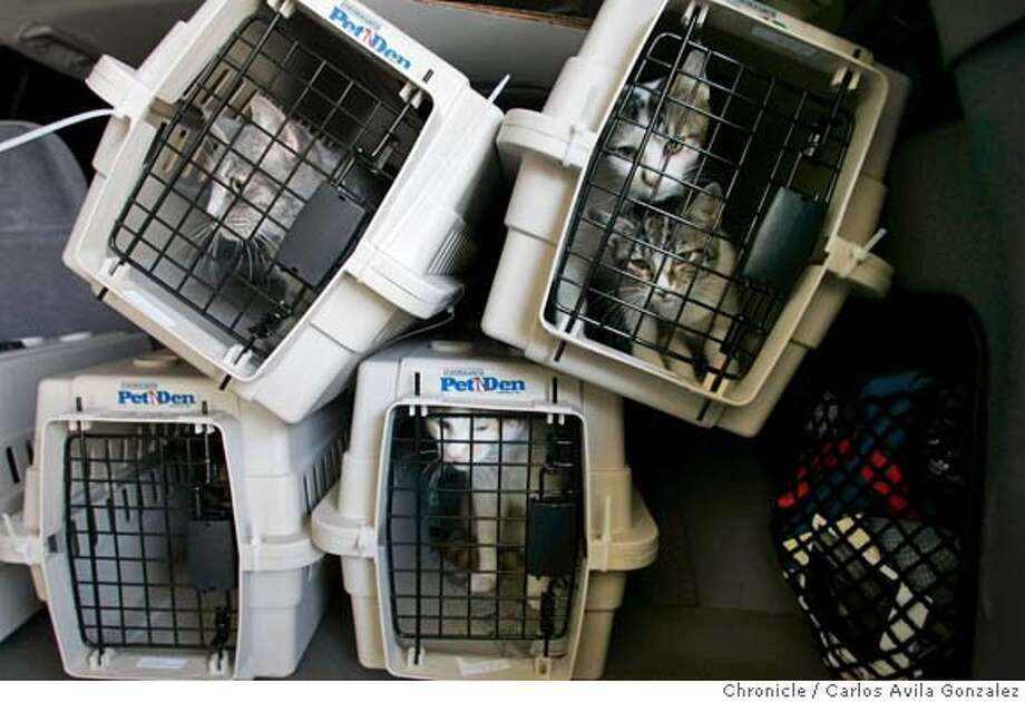 KATRINA30_DOGS_051_CG.JPG  Some of the evacuated cats from Hurrican Rita which arrived in San Francisco. 60 dogs and cats arrived at SFO early Thursday, September 29. 2005. Thirty were brought to animal care and control in San Francisco, Ca. The animals were evacuated after hurricane rita. coming from abandoned sanctuary outside houston. The people fled and the animals were left behind. Photo by Carlos Avila Gonzalez / The San Francisco Chronicle  Photo taken on 9/29/05, in San Francisco,CA. Photo: Carlos Avila Gonzalez