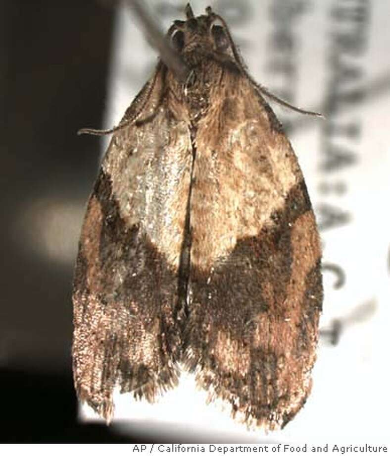 In this undated photo provided by the California Department of Food and Agriculture, shown is a light brown apple moth. Agriculture officials are scrambling to contain the invasion of the voracious Australian pest spotted in the San Francisco Bay area in February 2007. (AP Photo/California Department of Food and Agriculture)
