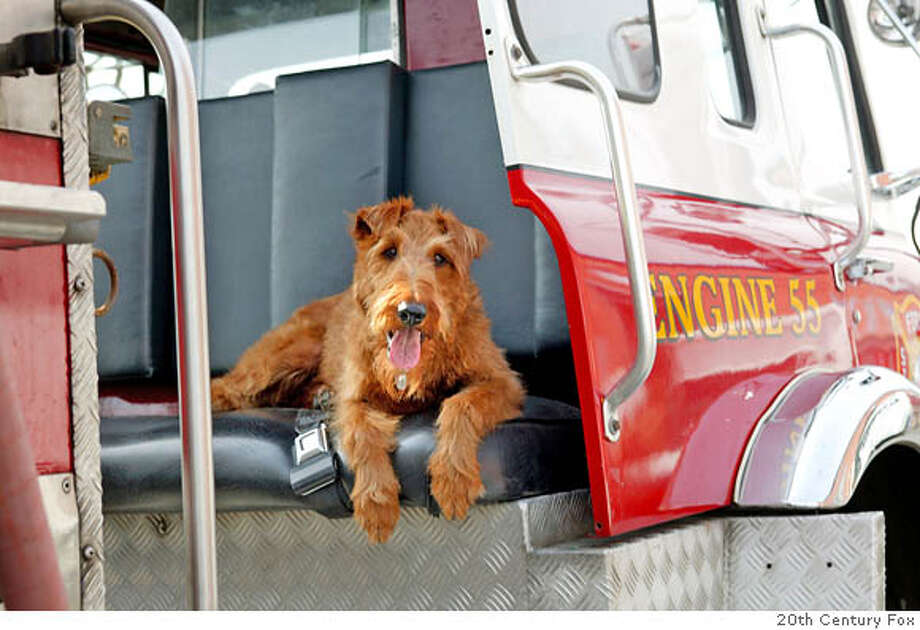 """Firehouse Dog"" stars Rex, an Irish Terrier. The family comedy opens in theaters everywhere on April 4. (Photo: Business Wire) XPRES # AKC Daisy Okas, 212-696-8343 or 20th Century Fox Gregg Brilliant, 310-369-5634 Gregg.brilliant@fox.com Photo: BUSINESS WIRE"