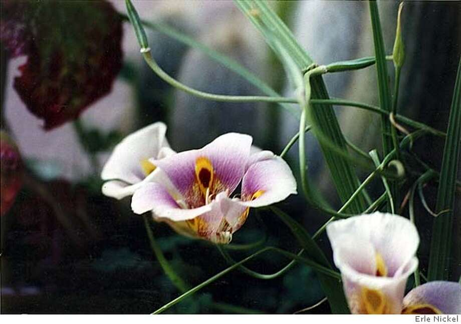 Calochortus superbus blooms in spring. Photo: Erle Nickel