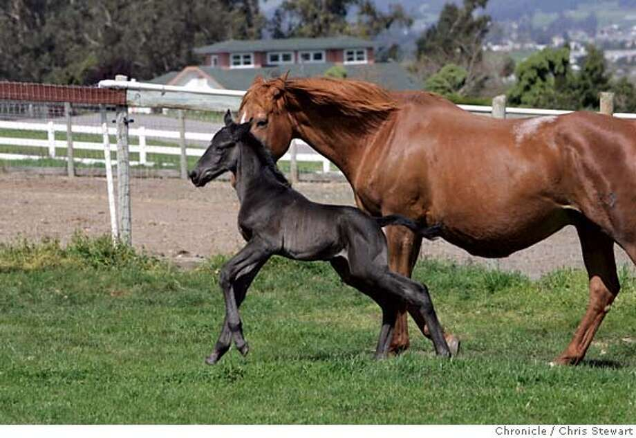 "HORSECAM03_078_cs.jpg Event on 4/2/07 in Petaluma.  Ransom (cq), a two-day-old colt, totters about on unsteady legs with his mother, Suerte, close at his side. Suerte (cq), a 21-year-old chestnut Trakehner mare gave birth to Ransom, her seventh foal and first colt, Saturday night under the watchful eye of a webcam and an international audience. Owner Genevieve Ghilotti (cq) at Glenhill Farm in West Petaluma has been besieged with phone calls and emails from people watching the expectant mother on the web. The mare has been highly protective of her offspring, aggressively keeping visitors and other horses at a distance. ""Maybe it's hormonal,"" posited Ghilotti. Photographed April 02, 2007. Chris Stewart / The Chronicle Genevieve Ghilotti, Suerte, Ransom MANDATORY CREDIT FOR PHOTOG AND SF CHRONICLE/NO SALES-MAGS OUT Photo: Chris Stewart"
