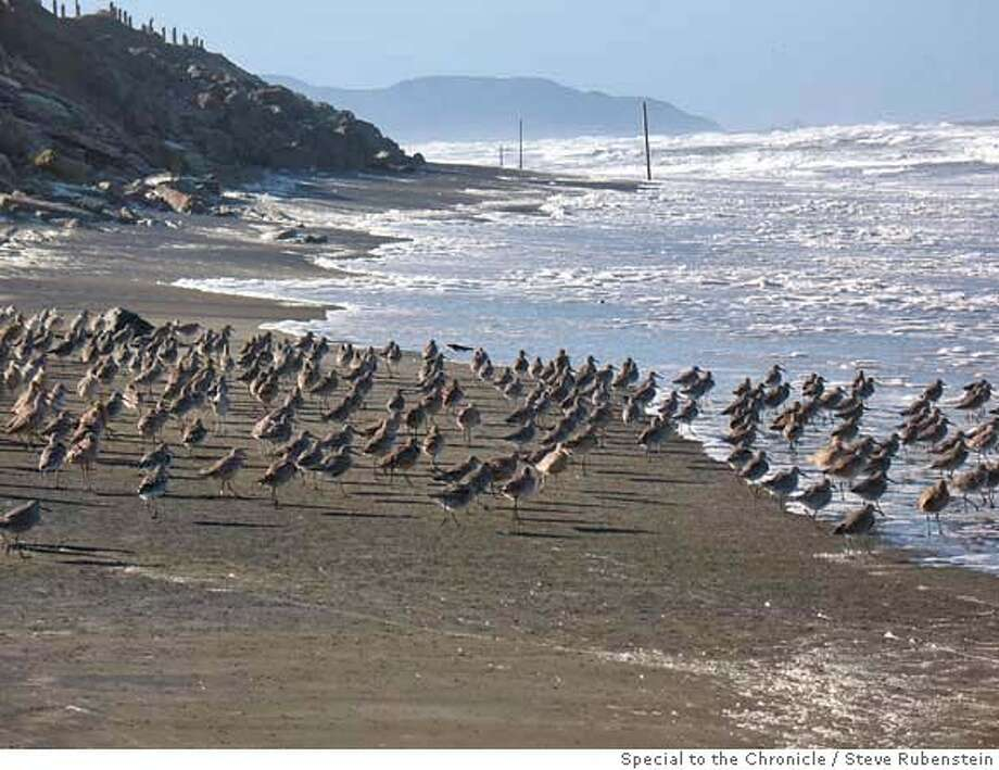 Flock of happy birds on Ocean Beach, just south of Sloat Boulevard, San Francisco, after two large truck tires were recently removed.  Credit: Steve Rubenstein/The Chronicle Photo: Steve Rubenstein