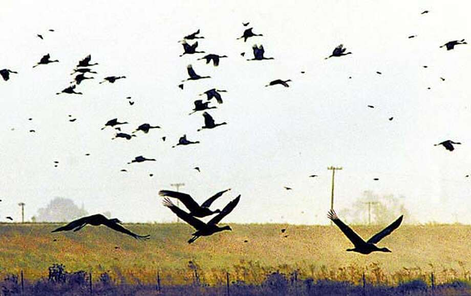A flock of sandhill cranes takes flight from the Woodbridge Ecological Preserve near Lodi, Calif., Oct. 11, 1999. This weekend's Sandhill Crane Festival pays homage to the threatened bird species that migrates from breeding grounds in Northern California and southern Oregon to the Central Valley every year in late September. (AP Photo/The Record, Clifford Oto) SF CHRONICLE SLUG: Photo: CLIFFORD OTO