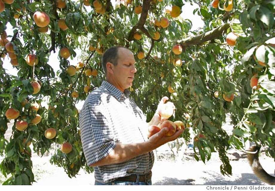 FARM_0026_PG.JPG Vito Chiesa, peach grower. he stands under a Freestone peach tree.. Severe shortage of workers to harvest crops in CA and AZ this yr. so phasing out peaches and will grow nuts exclusively because of shortage.  San Francisco Chronicle, Penni Gladstone  Photo taken on 9/14/05, in Modesto, Photo: Penni Gladstone