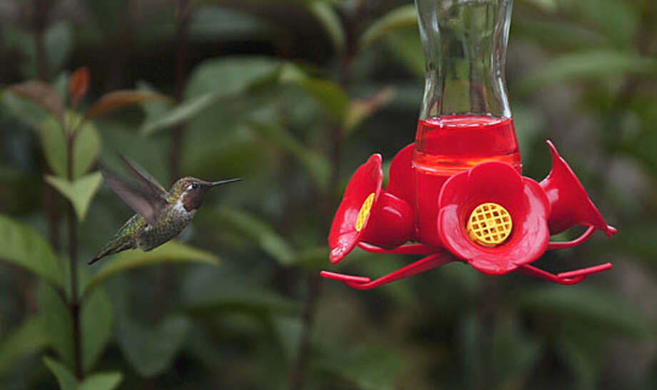 A hummingbird feeds in Lisa Etling's backyard in San Francisco. Chronicle photo by Jakub Mosur