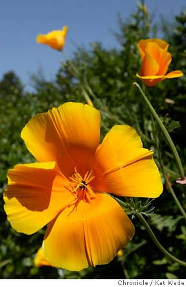 POPPIESa-C-25JUN02-MT-KW - California poppies are in full bloom along the the highways and by ways of the Bay Area. These particular flowers were recently captured in Walnut Creek off Camino Diablo Road. SAN FRANCISCO CHRONICLE PHOTO BY KAT WADE NORTHERN CA MANDATORY CREDIT PHOTOG & SF CHRONICLE/NO SALES-MAGS OUT Photo: KAT WADE