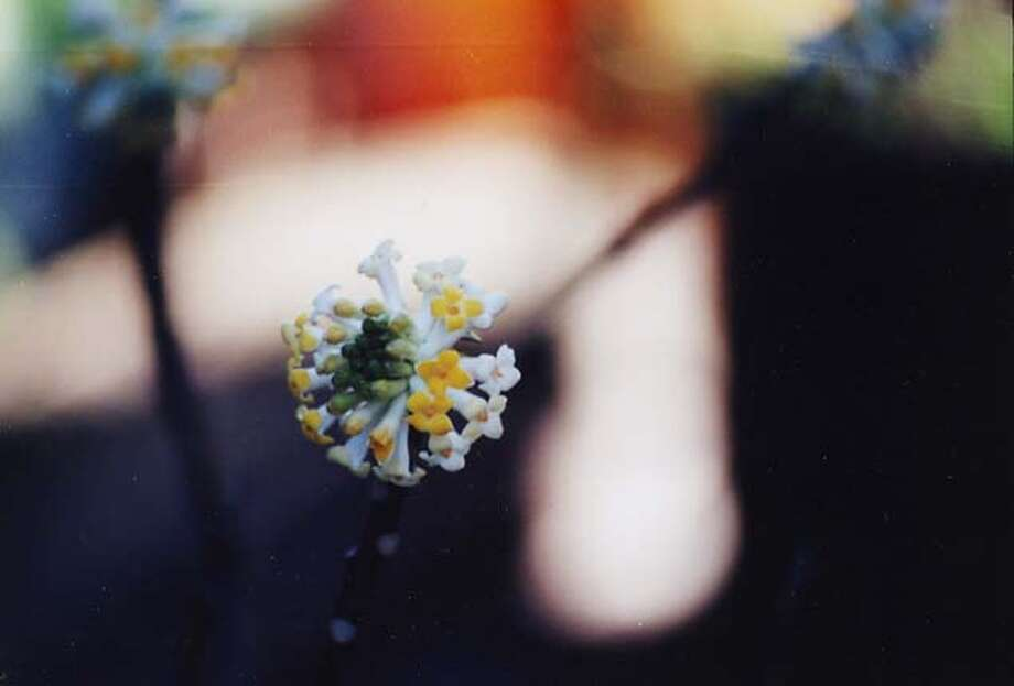 perfumed_garden24_PH6  Edgeworthia MANDATORY CREDIT FOR PHOTOG AND SF CHRONICLE/NO SALES-MAGS OUT Photo: Erle Nickel