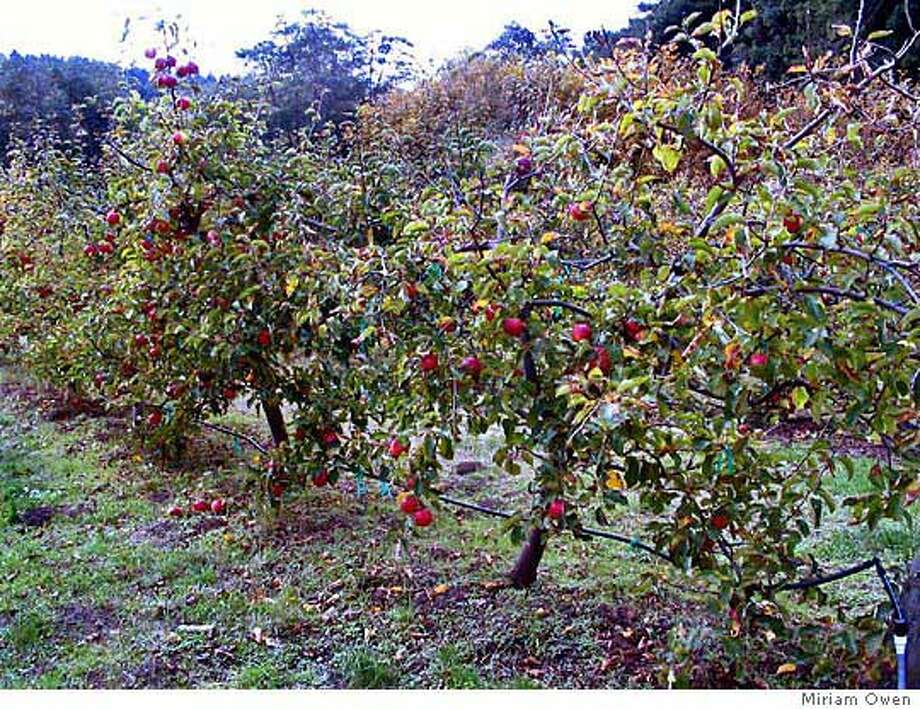 Apple trees are espaliered -- trained to grow horizontally -- at Oz Farm, situated in a valley near the Mendocino County coast. Photo by Miriam Owen