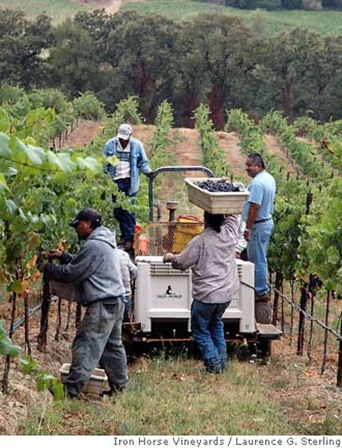 clockwise from top:  right: Victor Arreola, Rogelio Avilez, Antonio Rodriguez, Ramiro Albor & Daniel Moreno pick Pinot Noir grapes from the Iron Horse estate vineyards in Sonoma County's Green Valley. Credit: Courtesy Laurence G. Sterling/Iron Horse Vineyards Photo: Iron Horse Estate