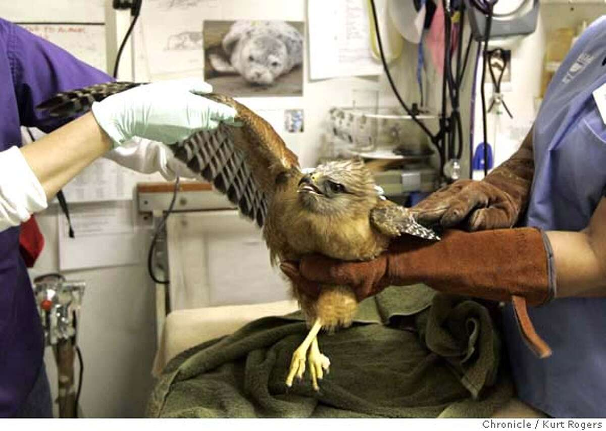 Melanie Piazza (cq) and Olga Ross take a look a the one of the Red Shouldered hawks wing's inside a care unit at WildCare in San Rafael. A Red-Shouldered hawk that has been in rehab at Wild Care in San Rafael will be let go on Friday in front of the Botanical Garden in Golden Gate park . The Hawk was poisoned by a rodenticide a couple of months ago. THURSDAY, MARCH 15, 2007 KURT ROGERS/THE CHRONICLE SAN RAFAEL THE CHRONICLE KURT ROGERS/THE CHRONICLE HAWK_0044_kr.jpg MANDATORY CREDIT FOR PHOTOG AND SF CHRONICLE / NO SALES-MAGS OUT