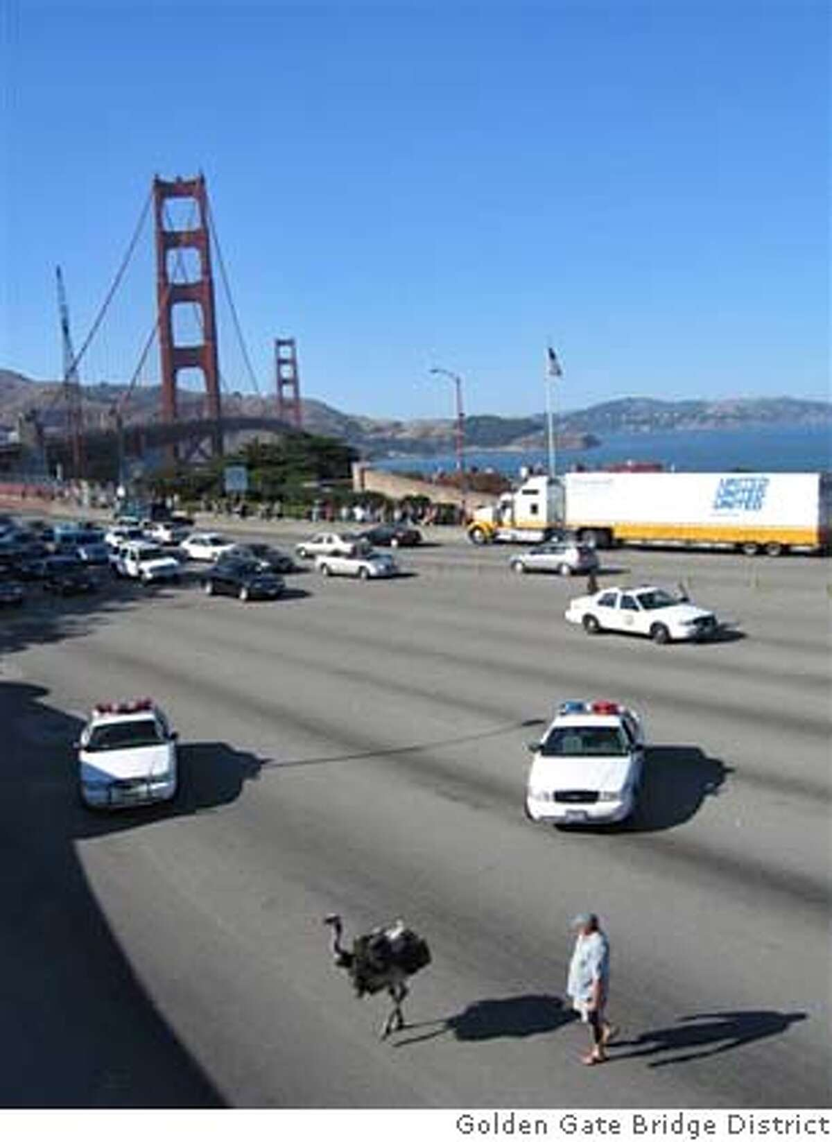 At 4:50 pm today, August 29, 2005, a female Ostrich somehow got out of a minivan heading northbound on the Golden Gate Bridge at the southern end of the Bridge. A second Ostrich did not get out. The owner, male, got of the mini van and began pursuit as the bird traveled southbound toward the toll plaza. The mini van was driven off the Bridge by the passenger in the van after the owner got out. PHOTOS COURTESY OF A. Ko, Golden Gate Bridge District