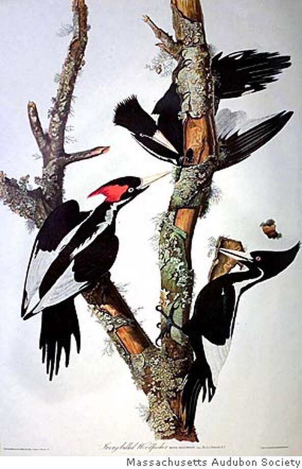 (NYT7) UNDATED -- April 28, 2005 -- IVORY-BILLED-WOODPECKER -- A print showing ivory-billed woodpeckers from an engraving by John J. Audubon. The woodpecker, a bird long thought extinct, has been sighted in the swamp forests of eastern Arkansas for the first time in more than 60 years, Cornell University scientists said Thursday, April 28, 2005. (Massachusetts Audubon Society/The New York Times) Ran on: 05-08-2005  Photo caption Photo: MASSACHUSETTS AUDUBON SOCIETY
