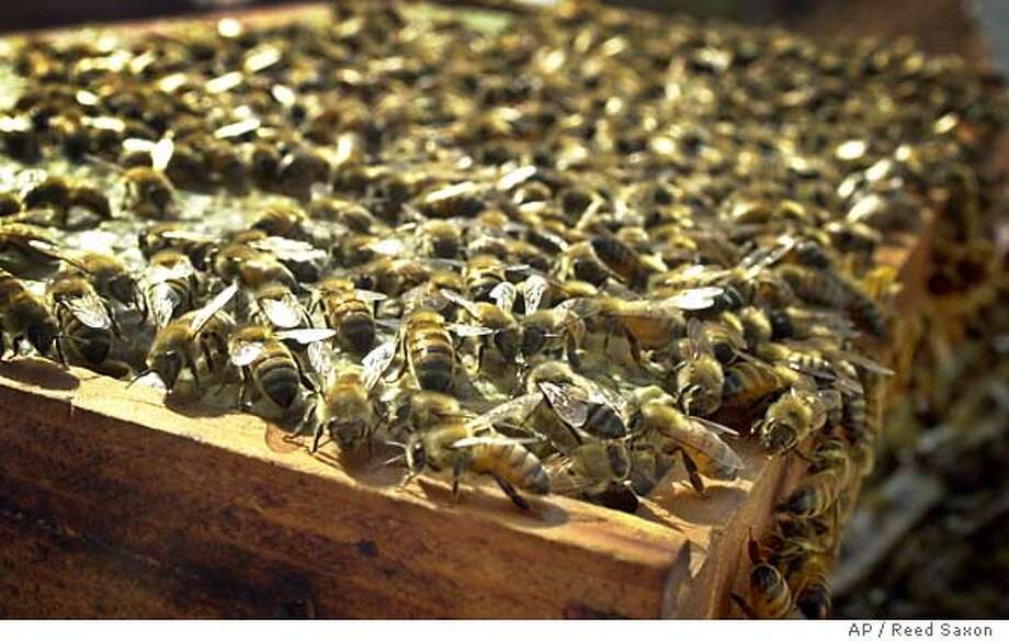 Bees scurry over a honeycomb frame; beekeepers and biologists are trying to figure out what's causing the current bee die-off. Associated Press photo, 2002, by Reed Saxon